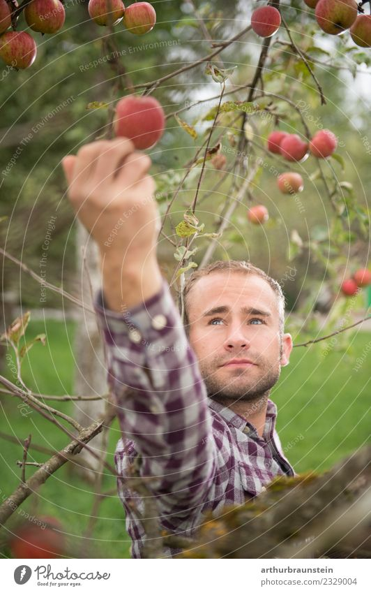 Young orchardist picks apples at the harvest Food Fruit Apple Nutrition Organic produce Healthy Eating Profession Farmer Fruit trees Fuit growing Fruit garden