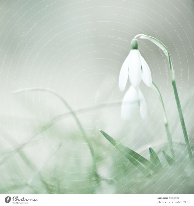 Soon! Nature Plant Growth Snowdrop 2 In pairs herald of spring Spring White Blossom Colour photo Subdued colour Close-up Detail Deserted Copy Space left Day