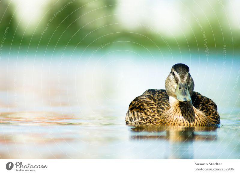 Summer Animal Lake Swimming & Bathing Wild animal Duck Bird