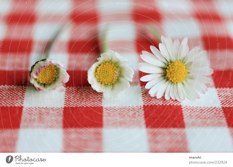 Nature White Red Plant Summer Flower Blossom Spring Lie Growth Blossoming Daisy Difference Checkered Transform Blossom leave