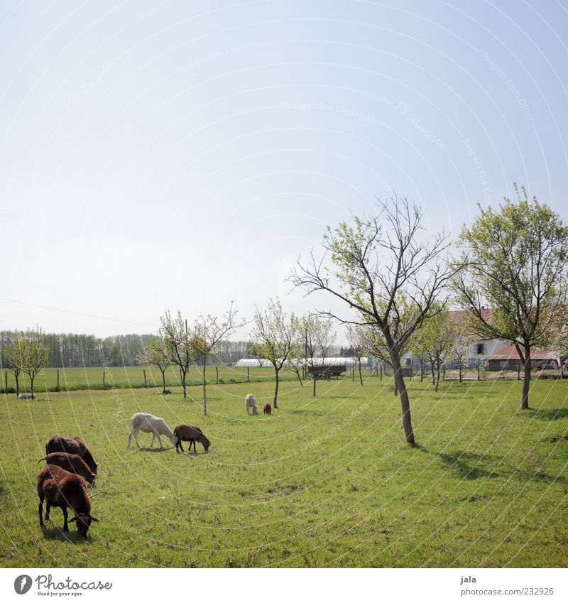 Where's Peter? Nature Sky Cloudless sky Spring Plant Tree Grass Meadow Manmade structures Building Farm Farm animal Goats Group of animals Animal family To feed
