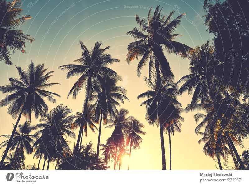 Coconut palm trees silhouettes at sunset, vacation concept. Exotic Beautiful Relaxation Vacation & Travel Adventure Freedom Summer Summer vacation Sun Beach