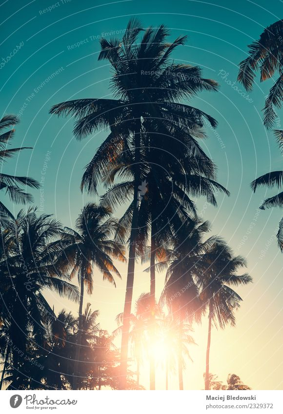 Coconut palm trees silhouettes at sunset, vacation concept. Exotic Relaxation Calm Vacation & Travel Tourism Trip Adventure Freedom Summer Summer vacation Sun
