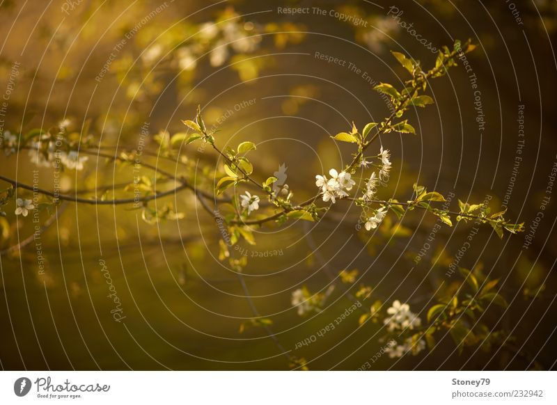 Nature Plant Green Calm Spring Blossom Fresh Blossoming Seasons Twig Dusk Spring fever Cherry Cherry blossom Fruit Wild cherry