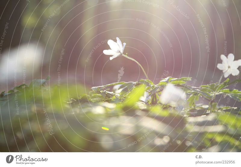 wood anemone Nature Plant Earth Flower Grass Leaf Blossom Wild plant Meadow Dream Growth Esthetic Fragrance Beautiful Warmth Brown Yellow Green White Happiness