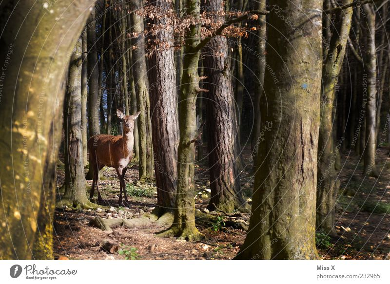 A little deer stands in the forest Nature Spring Autumn Tree Forest Animal Wild animal 1 Stand Curiosity Timidity Roe deer Deer Beech wood Beech tree