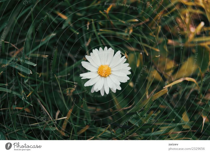 a single daisy seen from above with its white flower Beautiful Summer Garden Wallpaper Nature Plant Flower Leaf Blossom Wild plant Park Meadow Fresh Natural