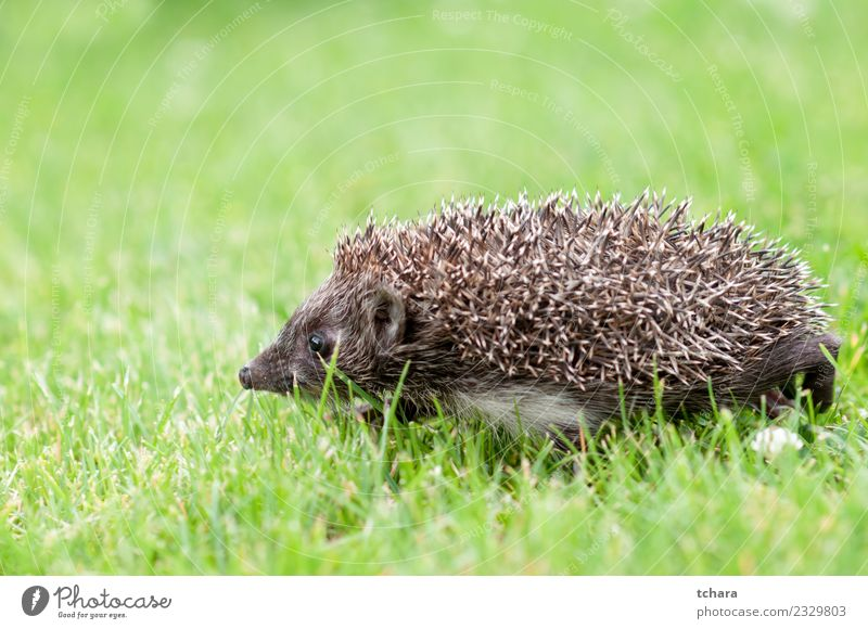 Small grey hedgehog Summer Garden Nature Animal Autumn Grass Moss Leaf Forest Natural Cute Thorny Wild Brown Gray Green Protection Hedgehog European wildlife