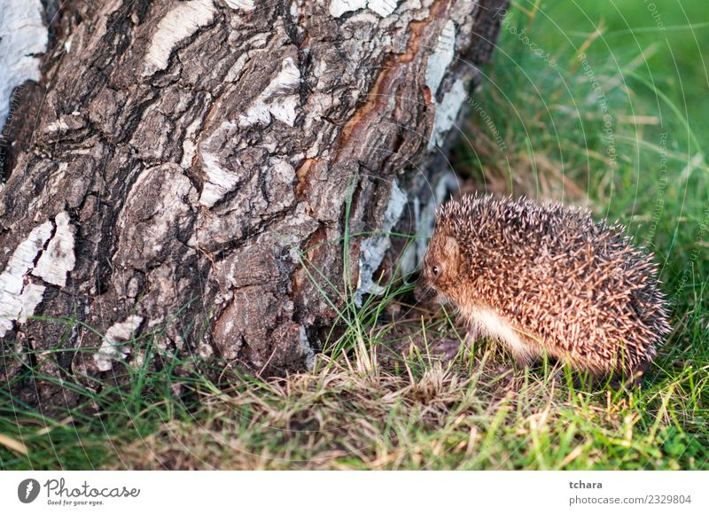 Small hedgehog Summer Garden Nature Animal Autumn Tree Grass Moss Leaf Forest Natural Cute Thorny Wild Brown Gray Green Protection Hedgehog European wildlife