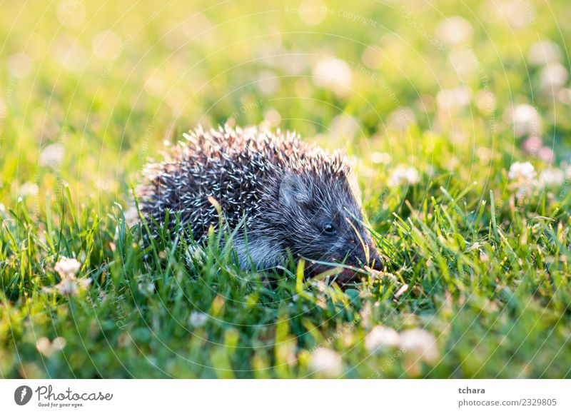 Hedgehog Summer Garden Nature Animal Autumn Grass Moss Leaf Forest Small Natural Cute Thorny Wild Brown Gray Green Protection European wildlife Mammal
