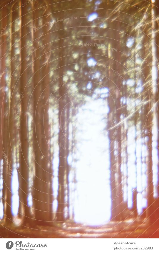 Nature Tree Plant Forest Lanes & trails Bright Mysterious Footpath Sparse Coniferous forest Lomography Light