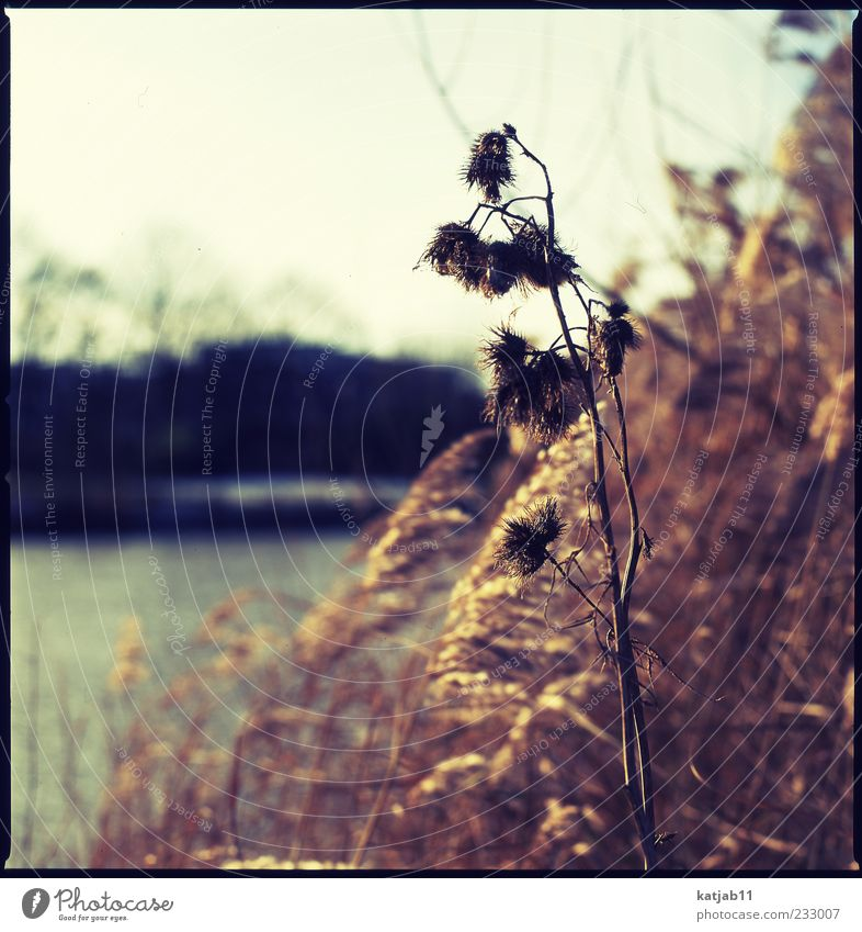golden Nature Landscape Plant Sun Bushes Great burr Common Reed River bank Calm Medium format Analog Colour photo Exterior shot Deserted Day Light Sunlight