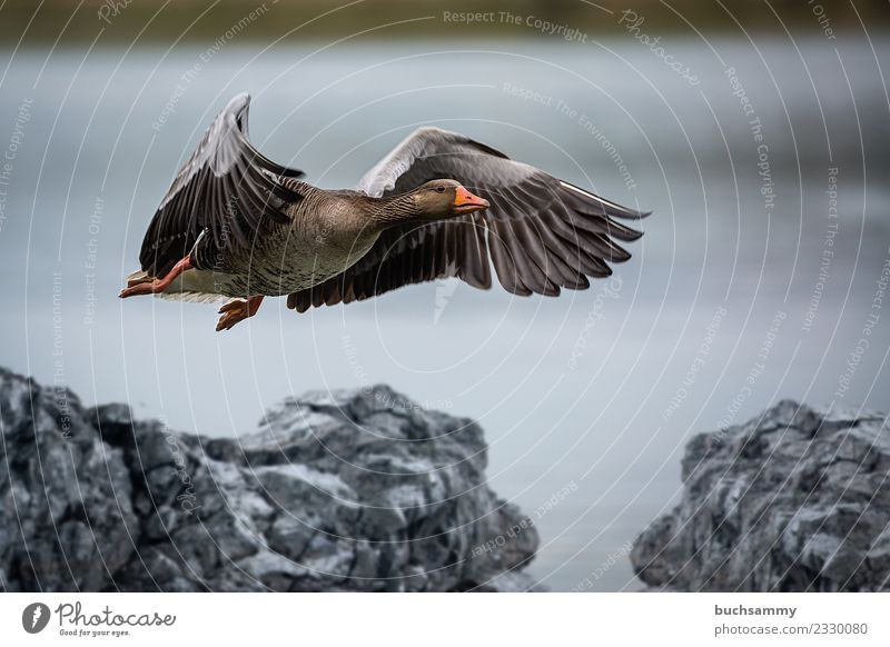 Wild goose landing Nature Animal Water Bird 1 Stone Flying Grand piano Feather waterfowl Goose wildlife Colour photo Exterior shot Deserted Copy Space top Day