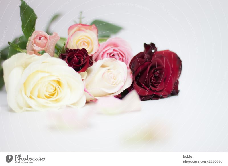Would you also like to accept this rose? Nature Plant Spring Flower Rose Leaf Blossom Bouquet Rose leaves bouquet of roses Rose blossom Fragrance Exotic