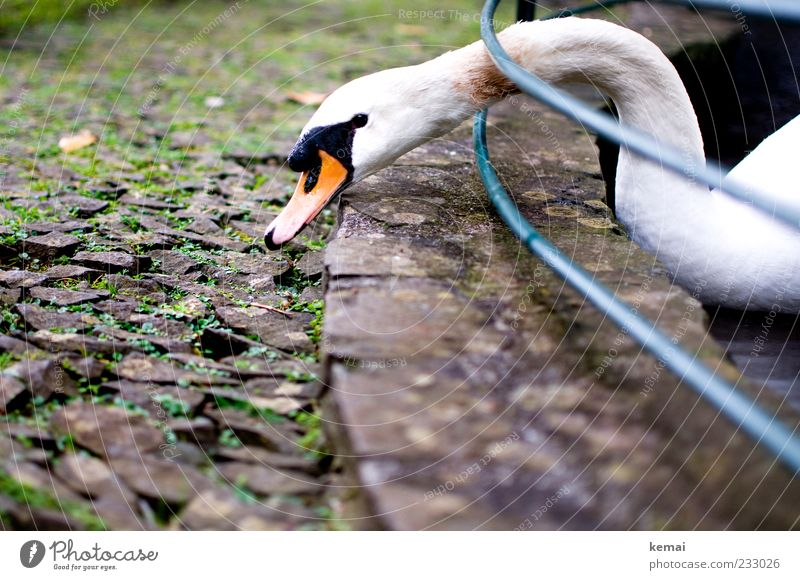 grazing Nature Park Animal Wild animal Swan Animal face Beak Head Neck 1 Stone To feed Appetite Handrail Barrier Colour photo Subdued colour Exterior shot Day