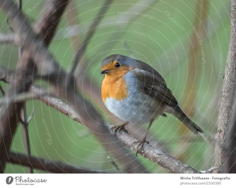 Curious looking robin Environment Nature Animal Sun Beautiful weather Plant Tree Branch Twig Wild animal Bird Animal face Wing Claw Robin redbreast Beak Eyes