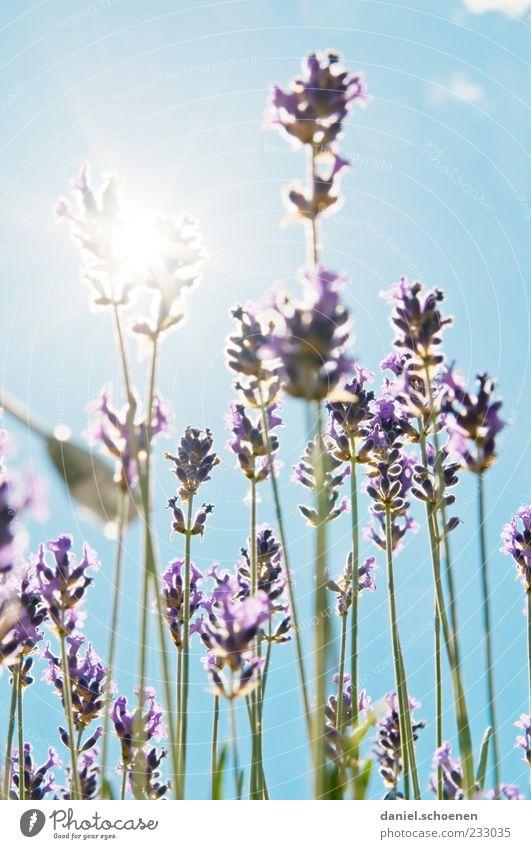 backlight summer scent Fragrance Summer Plant Cloudless sky Beautiful weather Blue Green White Lavender Light Sunlight Sunbeam Back-light Deserted Blur