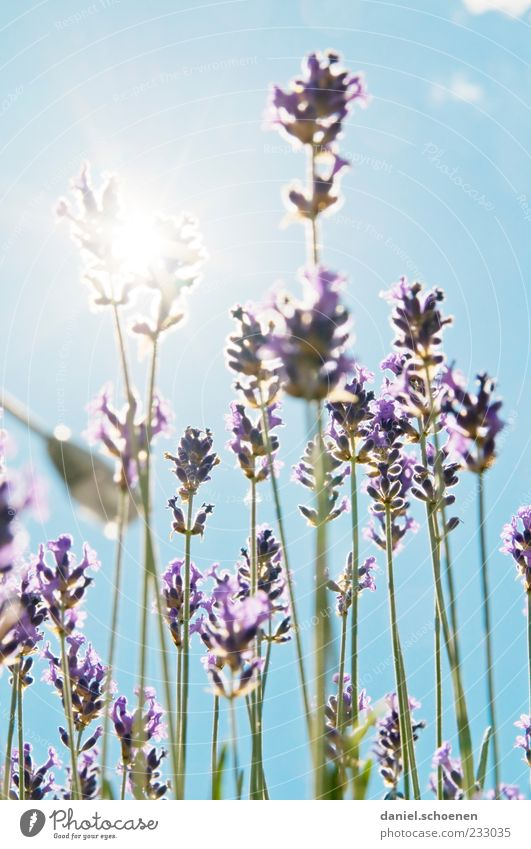 Blue White Green Plant Summer Violet Beautiful weather Fragrance Cloudless sky Lavender Blossom leave Sky