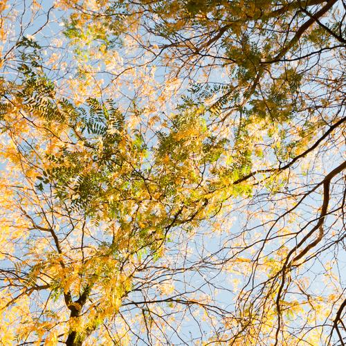 Sky Nature Tree Plant Summer Leaf Yellow Environment Autumn Background picture Climate Beautiful weather Seasons Treetop Autumnal Autumnal colours
