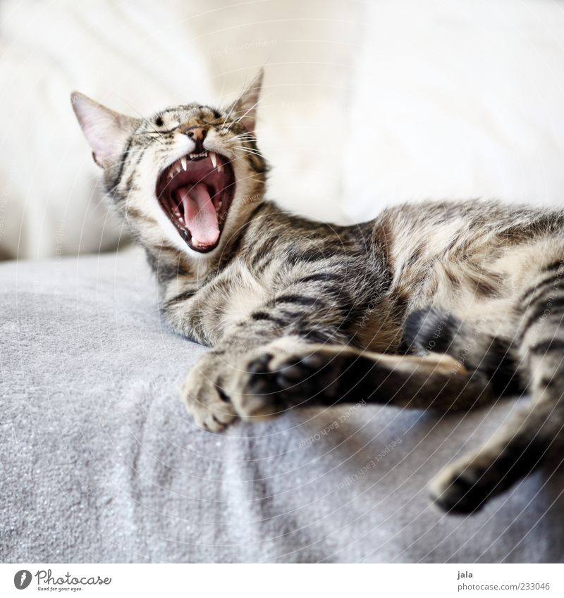 Cat Animal Cute Pelt Couch Set of teeth Fatigue To enjoy Pet Paw Muzzle Whisker Yawn Emotions