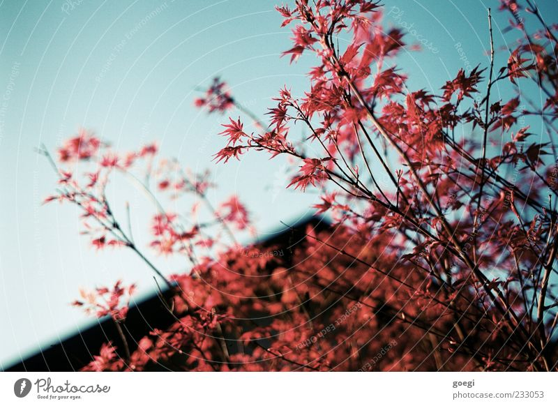 Sky Nature Blue Tree Red Plant Leaf House (Residential Structure) Calm Environment Maple leaf Maple tree Blue sky Twigs and branches Gable Gable end