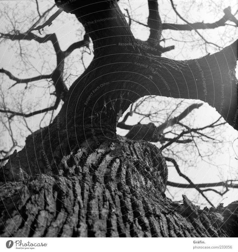 I've been through a lot... Nature Tree Old Fat Gigantic Gray Black White Power Oak tree Tree trunk Branch Twig Tree bark Branched Black & white photo