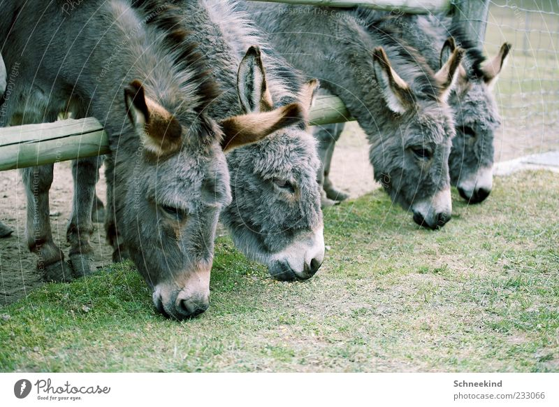 Nature Animal Environment Gray Grass Wild animal Group of animals Pelt Zoo Fence To feed Donkey Mane Hoof Beaded