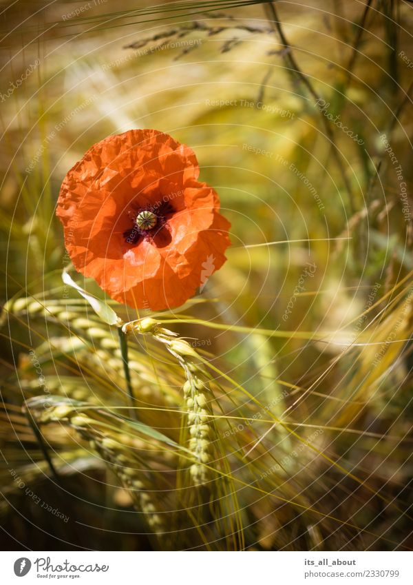 Poppy with ears of corn Nature Plant Summer Flower Blossom Agricultural crop Field Gold Red Poppy blossom Wheat Wheatfield Wheat ear Colour photo Exterior shot