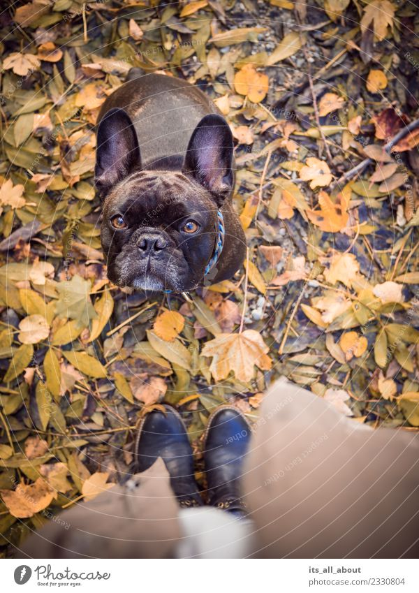 Barnie in autumn Nature Animal Pet Dog 1 Brown Autumn French Bulldog frenchie Colour photo Subdued colour Exterior shot Bird's-eye view Animal portrait Looking