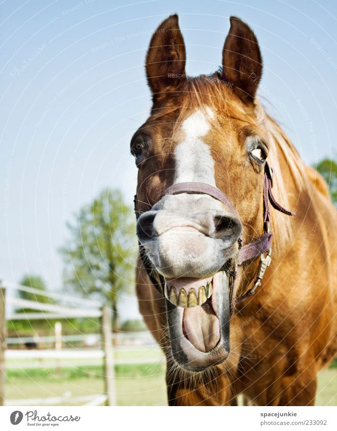 Laughter Funny Brown Exceptional Horse Pelt Animal face Set of teeth Discover Whimsical Grimace Mane Horse's head Horse's bite Whinny