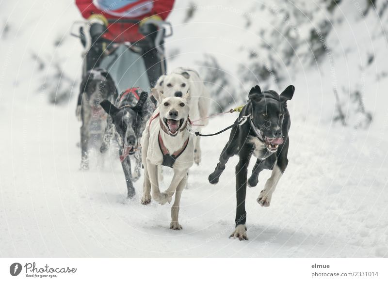 Sled dog team in the snow Winter Snow Dog Sled dog race Sleigh Pack Running Athletic Authentic Elegant Together Uniqueness Muscular Joy Joie de vivre (Vitality)