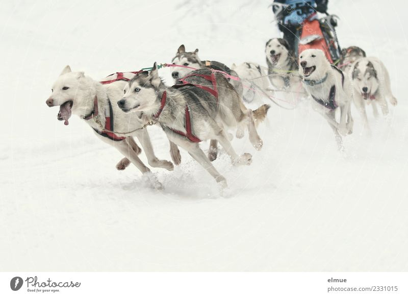 Sled dog team at full speed Winter Snow Dog Sled dog race musher Group of animals Walking Running Esthetic Athletic Authentic Together Muscular Speed Wild Joy