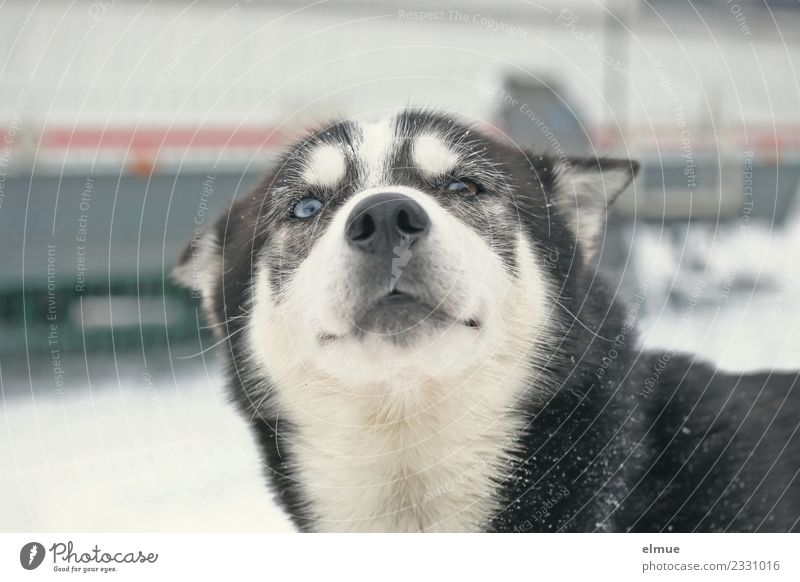 Portait of a sled dog Winter Dog Sled dog Husky Snout Eyes Pelt coat pattern Communicate Looking Athletic Authentic Elegant Beautiful Cuddly Natural Contentment