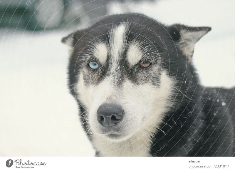 Portrait of a sled dog Leisure and hobbies Winter Dog Sled dog Husky Nose Snout Pelt Observe Communicate Looking Athletic Blue Brown Power Brave Trust