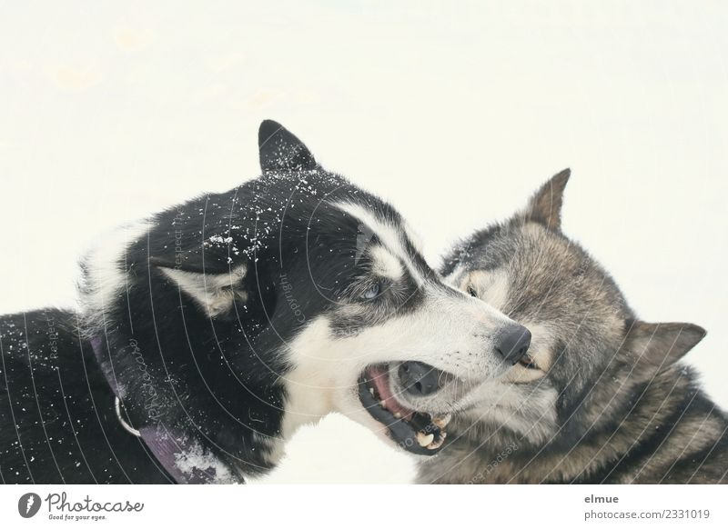 two playing huskies Winter Snow Dog Husky Sled dog Sled dog race Pelt Snout Playing Esthetic Authentic Healthy Together Happy Beautiful Cuddly Natural Joy