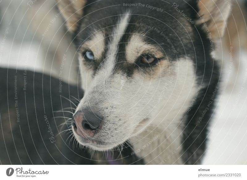 Portrait of a Husky Winter Dog Sled dog Sled dog race Snout Eyes Pelt coat pattern Nose Looking Wait Esthetic Athletic Elegant Cuddly Natural Curiosity