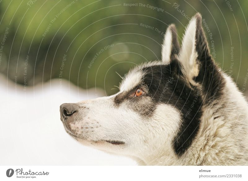 Portrait of a Husky Winter Snow Dog Sled dog Pelt Ear Snout Eyes Listening Looking Esthetic Athletic Authentic Elegant Cuddly Near Beautiful Contentment