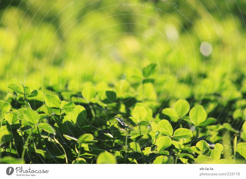 Nature Green Plant Yellow Meadow Happy Moody Natural Positive Optimism Foliage plant Spring fever Agricultural crop Good luck charm Four-leafed clover