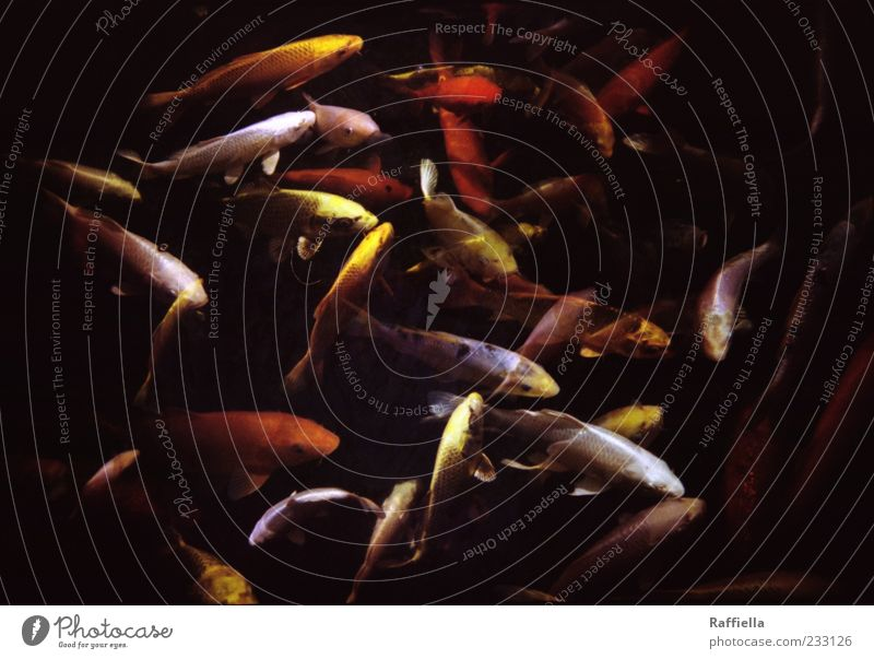 disordered Animal Fish Carp Goldfish Koi Group of animals Flock Movement Swimming & Bathing Yellow Red Double exposure Dark Shoal of fish Colour photo