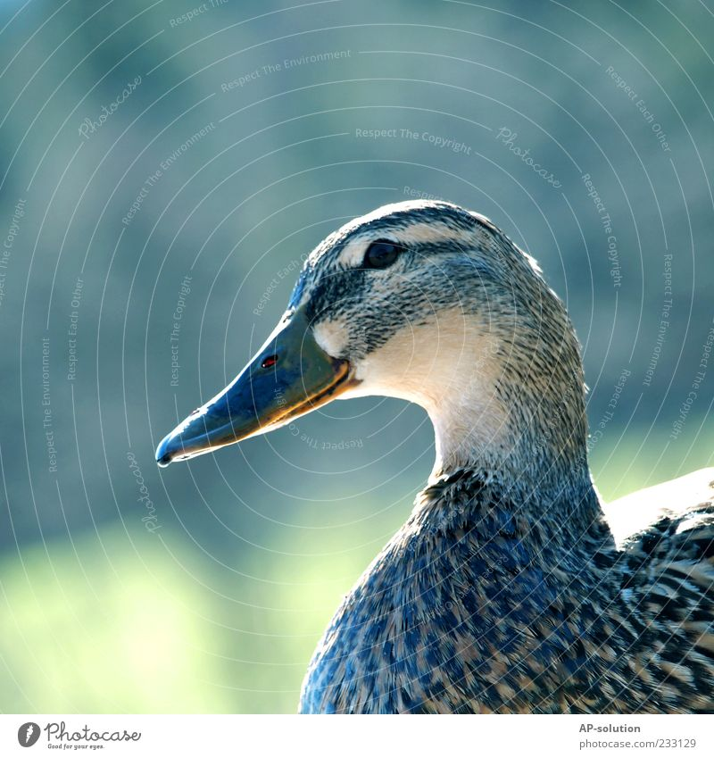 duck Animal Farm animal Bird Animal face 1 Duck Feather Beak Drake Colour photo Exterior shot Deserted Copy Space left Copy Space top Day Animal portrait
