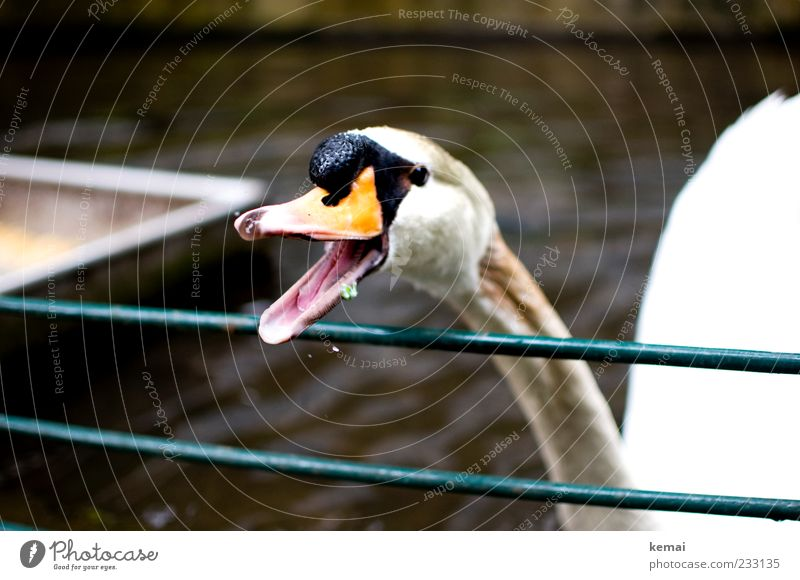 Nature Animal Environment Head Open Wild animal Dangerous Animal face Anger Scream Neck Beak Tongue Swan Aggression Attack