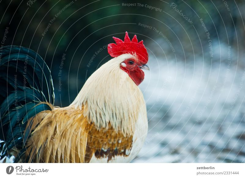Cock again Rooster Barn fowl Gamefowl Bird Poultry Animal Poultry farm Hen's egg Chicken feather Livestock breeding Keeping of animals Species-appropriate