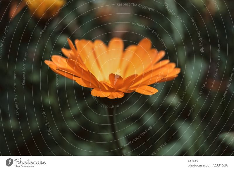 a single orange flower of calendula officinalis Nature Plant Summer Beautiful Colour Green Flower Yellow Blossom Spring Meadow Natural Garden Orange Park Field