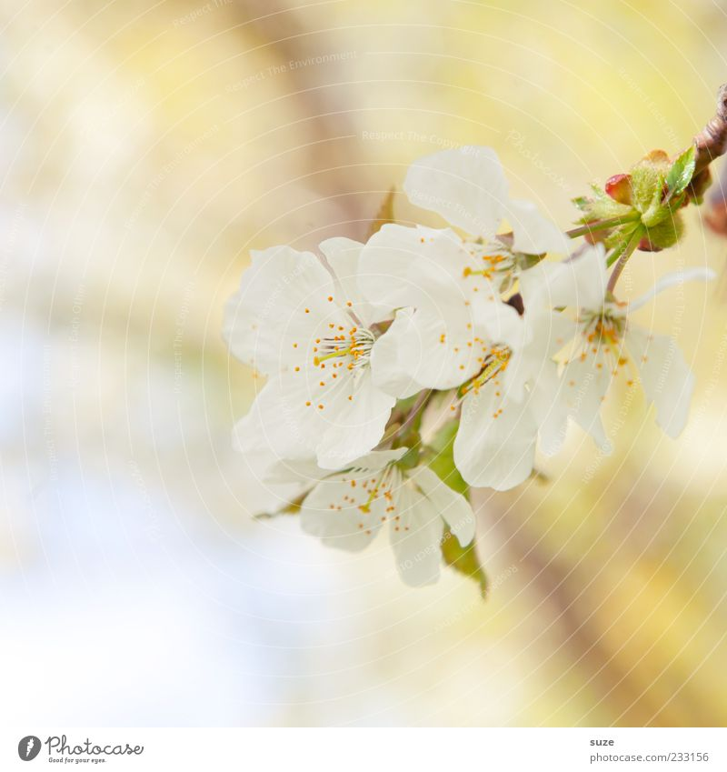 Nature White Plant Yellow Blossom Spring Moody Bright Environment Fresh Growth Delicate Natural Blossoming Fragrance Blossom leave