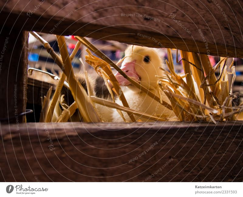 Curious goose chick Animal Farm animal Animal face Wing 1 Baby animal Observe Discover Feeding Looking Dream Blonde Brash Small Curiosity Cute Yellow Joy