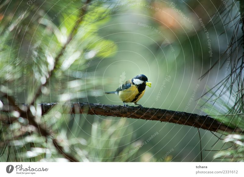 Titmouse Beautiful Winter Garden Environment Nature Animal Tree Park Forest Bird Sit Bright Small Natural Wild Blue Yellow Green White Trust Appetite Colour