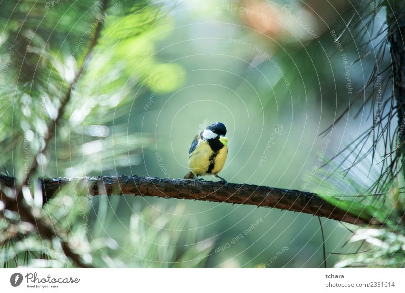 Titmouse Nature Blue Beautiful Colour Green White Tree Animal Winter Forest Yellow Environment Natural Small Garden Bird