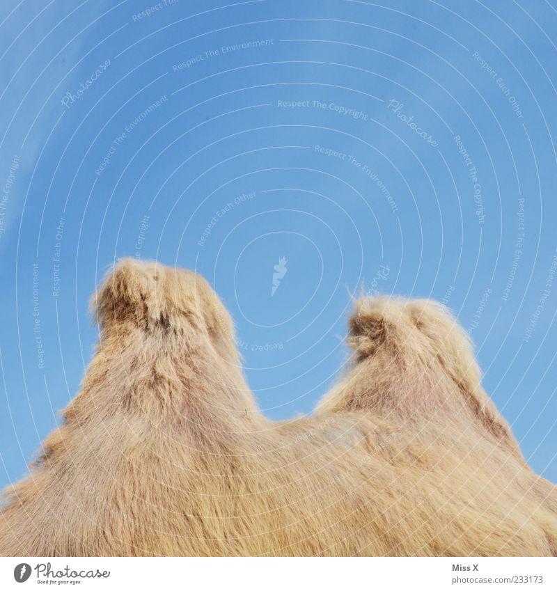 Animal Wild animal Pelt Cuddly Farm animal Cloudless sky Camel Sky Camel hump