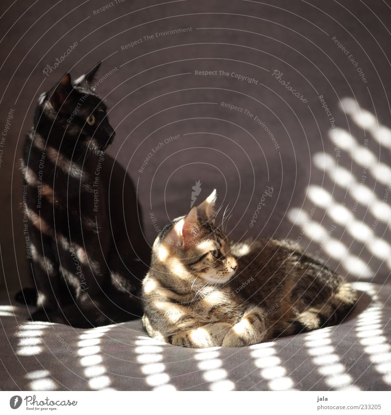 brethren Sofa Animal Pet Cat 2 Pair of animals Crouch Lie Beautiful Colour photo Exterior shot Deserted Copy Space top Neutral Background Day Light