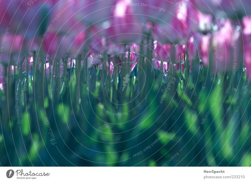 Green Flower Leaf Blossom Spring Pink Many Blossoming Stalk Narrow Tulip Garden Calyx Flowerbed Monoculture Tulip field